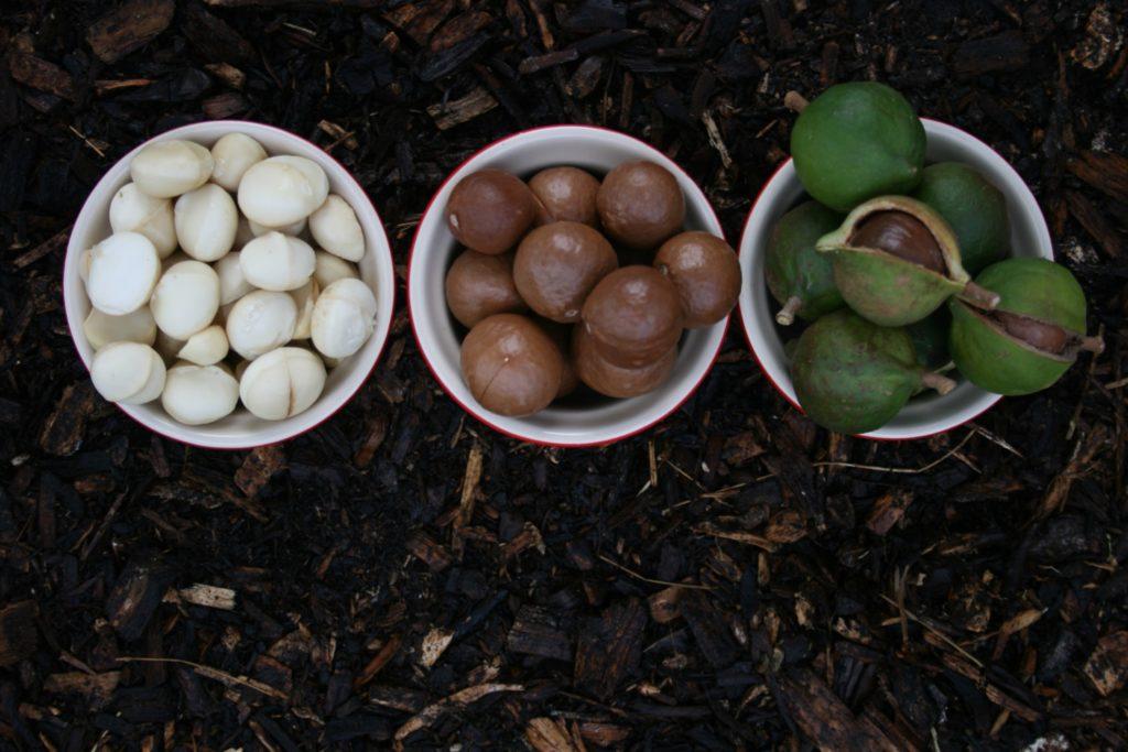 Macadamia Nuts Life Cycle